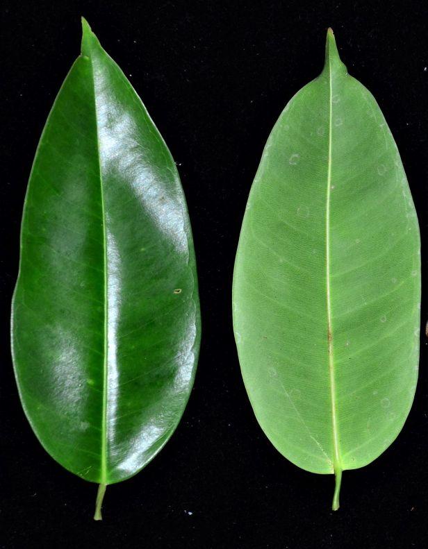 11 Ficus stricta  Sukau, Sukau Rainforest Lodge●20190469★ Shuai LIAO-LSL_3408.JPG