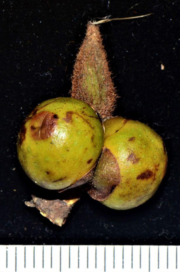 12 Ficus consociata, Beluran, Ulu Sapa Payau FR, ●20190434★ Shuai LIAO-LSL_2054.JPG