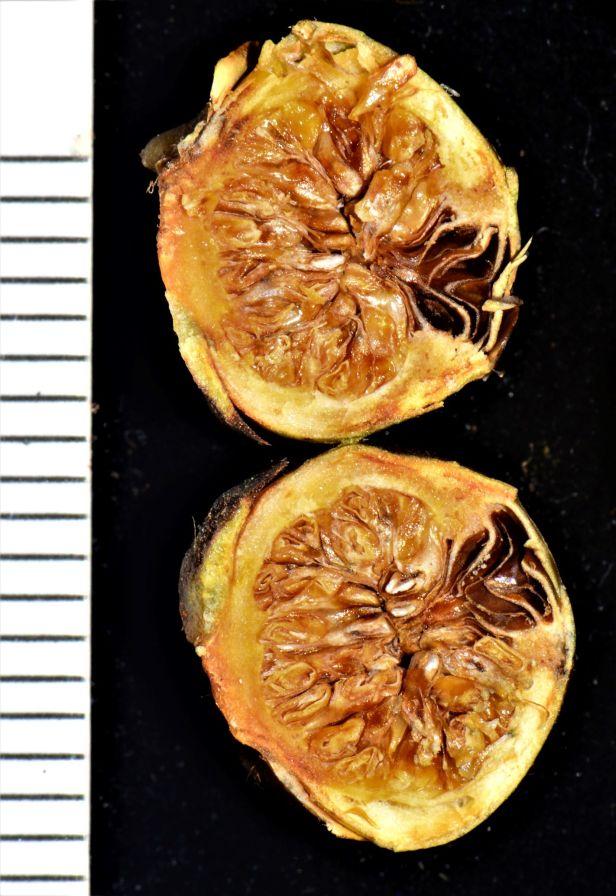 14 Ficus consociata, Beluran, Ulu Sapa Payau FR, ●20190434★ Shuai LIAO-LSL_2054.JPG
