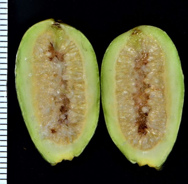 17 Ficus subcordata—Florida, USDA-Chapman's Field ◆ Java●PI 67502●20200011★Shuai LIAO-LSL_4568.JPG