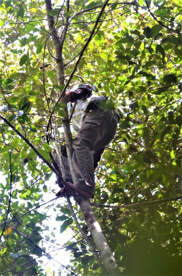 Climbing Ficus 16 sundaica.jpg