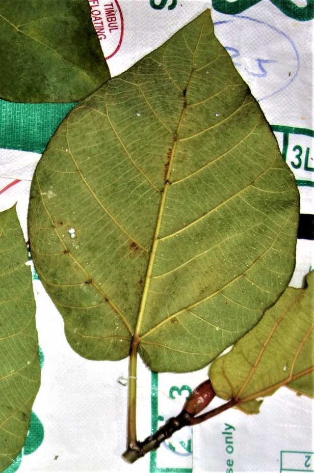 EG 879 Ficus ENDOSPE1RMIFOLIA not EG 879 specimen