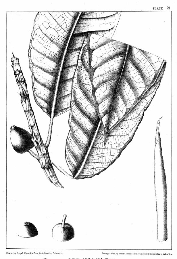 Ficus annulata  001 King (1887) ORIGINAL.jpg