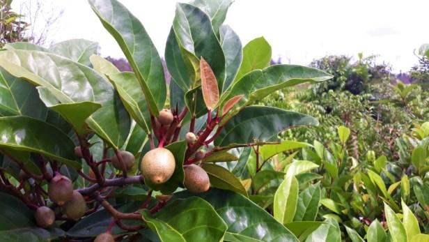 Ficus apiocarpa Pontianak 03 .jpg
