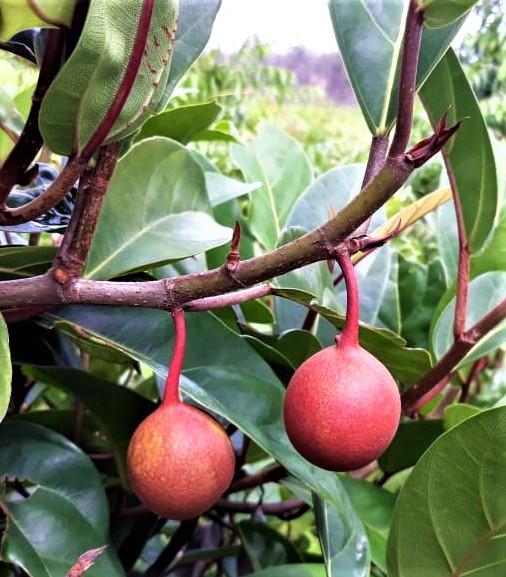 Ficus apiocarpa Pontianak
