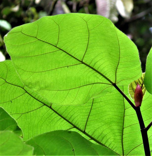 Ficus bruneiensis at Sg Lansat IMG_3942.JPG