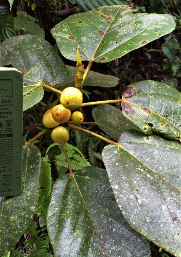 Ficus cf aurata big figs EG886 a.JPG