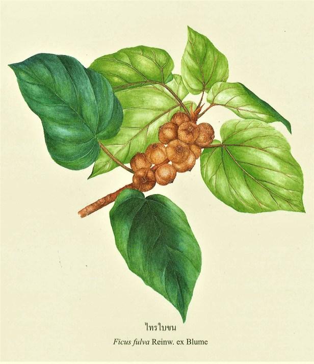 Ficus fulva in Flora of Thailand - Copy.jpg