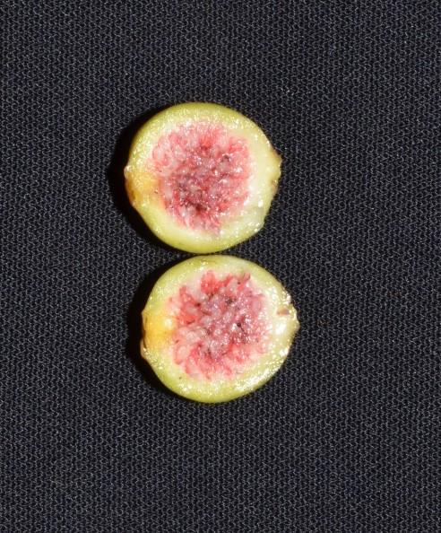 Ficus grossularioides Pontianak kerangas (5).jpg