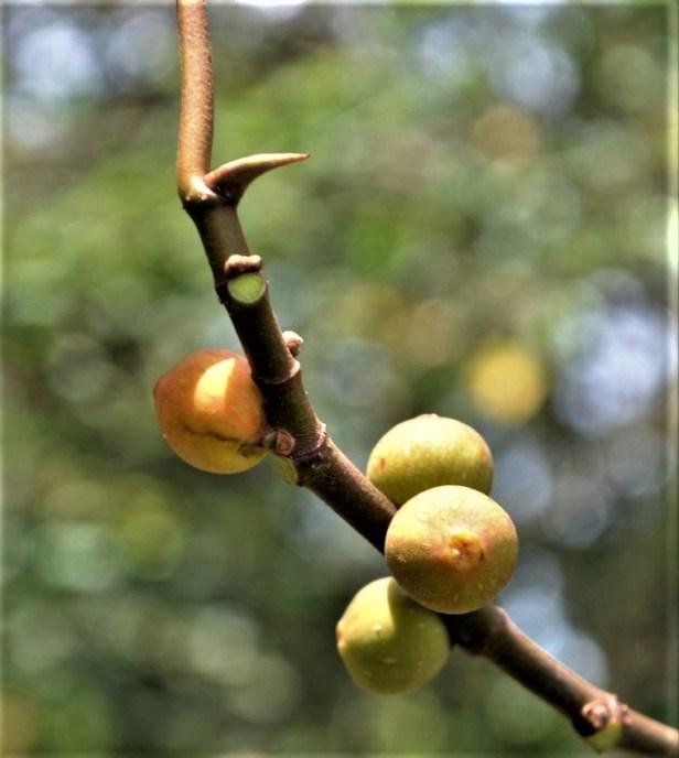 Ficus grossularioides Pontianak kerangas (8).jpg