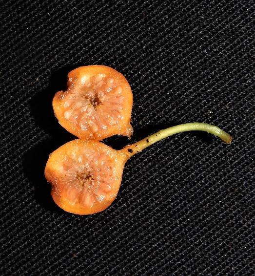 Ficus hemsleyana Pontianak peatswamp (10).jpg