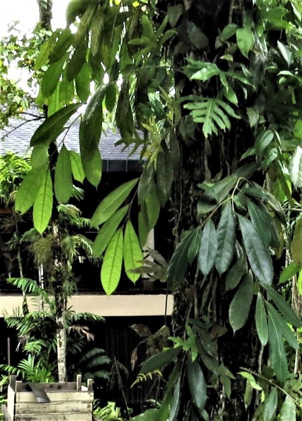 Ficus magnoliifolia Royal Mulu Resort IMG_6338 .JPG