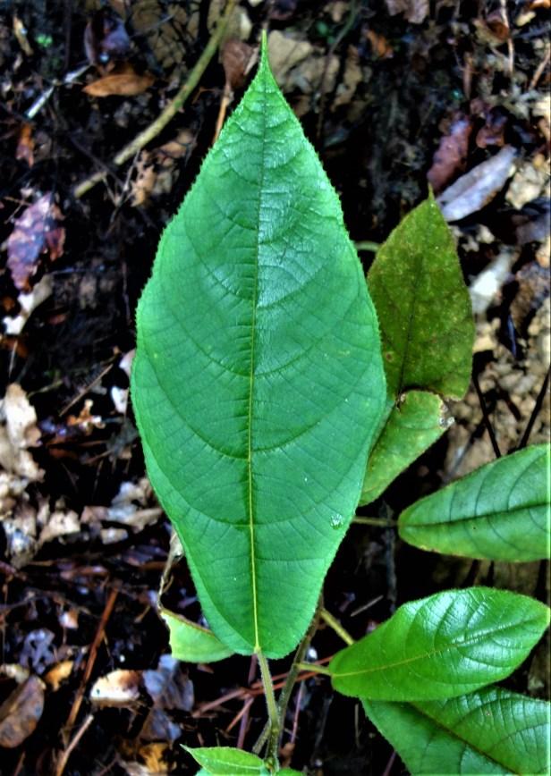 Ficus sp sapling EG895 a.JPG