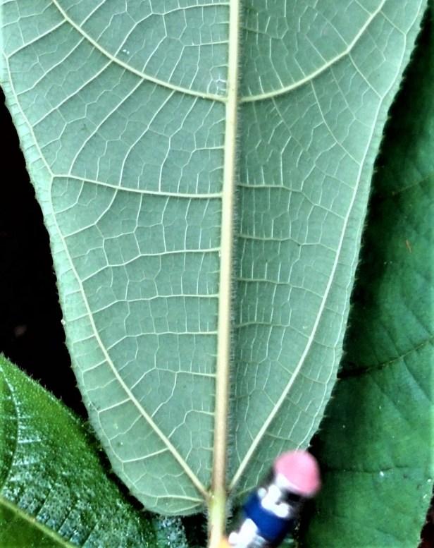 Ficus sp sapling EG895 b - Copy