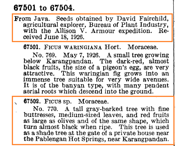 Ficus subcordata accession  from Javan seed 18 June 1926 - Copy.png