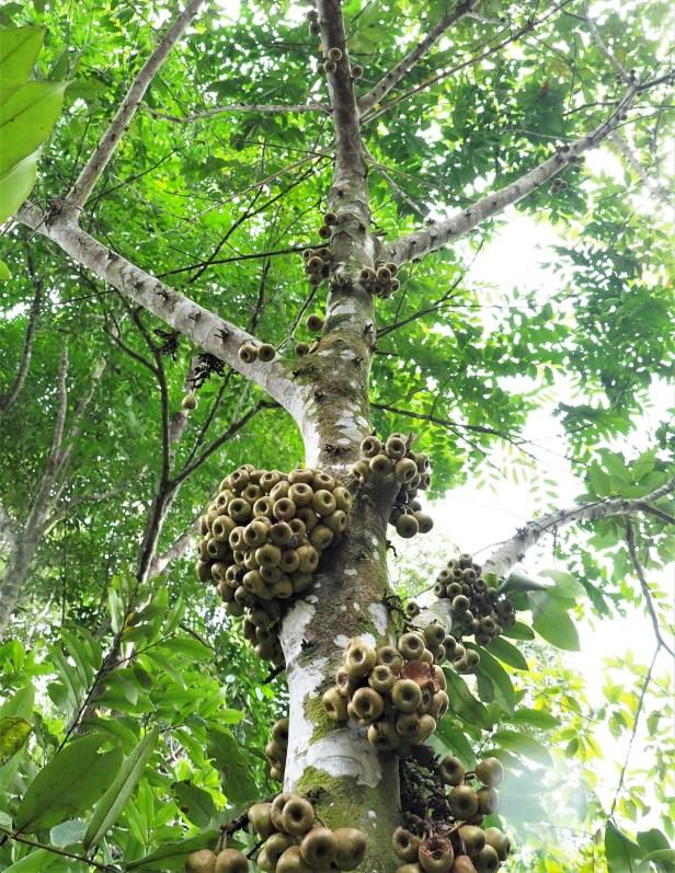 01 Ficus obpyramidata—Taman Negara★Qin-Wen LIN_P1191554.JPG
