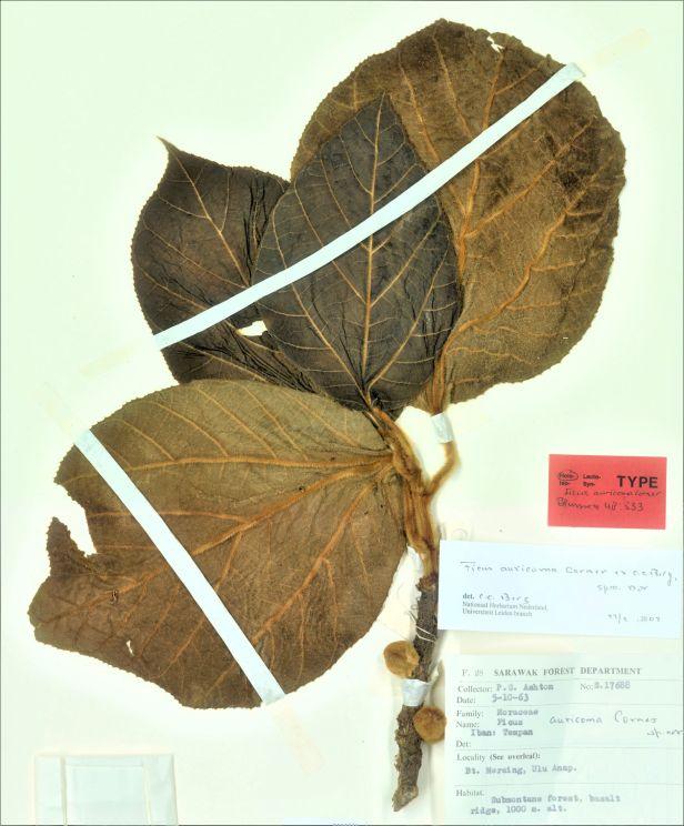 02 Ficus auricoma 007748809-L.3973140_MLN