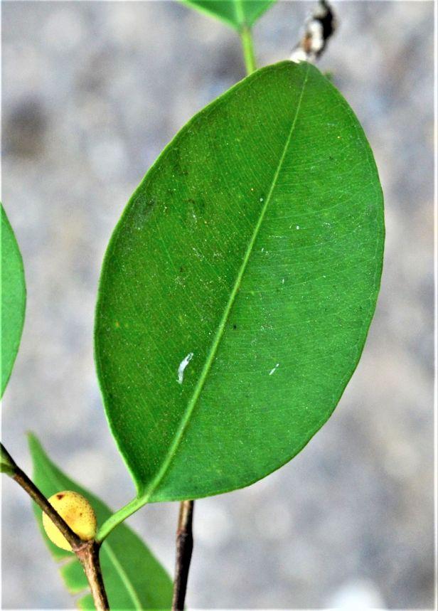04 Ficus benjamina Pekan, Ranau Bangunan Gerai ●20190343★Shuai LIAO.JPG