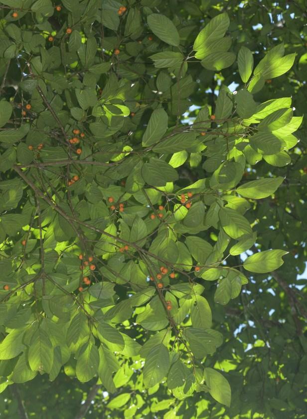 04 Ficus lumutana female DVFC Mike Bernadus ●20200034★Xin-Xin ZHOU_DSC_3325.JPG
