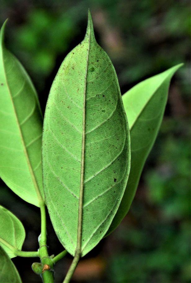 04 Ficus subgelderi Telupid, Mantapok Nature T  150m●20190409★ Shuai LIAO-LSL_1086.JPG