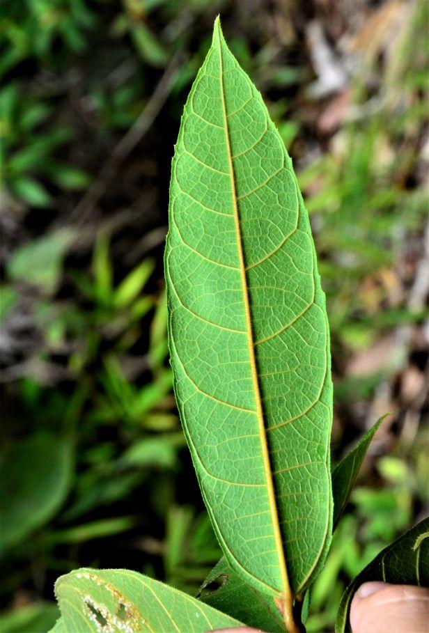 05 Ficus inaequipetiolata, Tongod, Tangkulap FR●20190413★ Shuai LIAO-LSL_1299.JPG