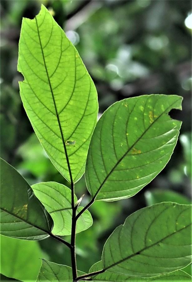 05 Ficus obpyramidata—Taman Negara★Qin-Wen LIN_P1191554.JPG