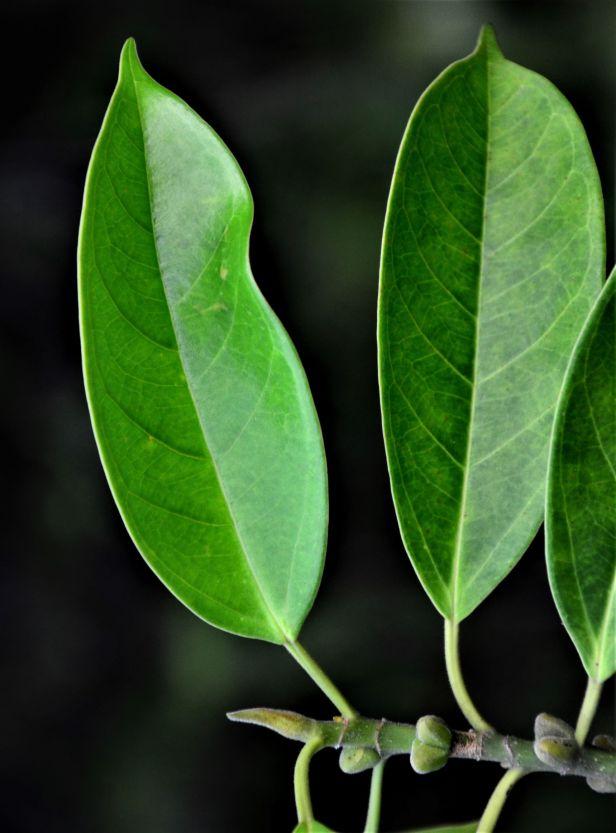 06 Ficus subgelderi Telupid, Mantapok Nature T  150m●20190409★ Shuai LIAO-LSL_1086.JPG