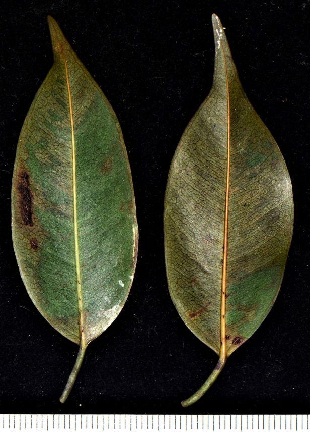 07 Ficus benjamina Ranau, Chon Chu Kung Temple●20190403★ Shuai LIAO-LSL_0902