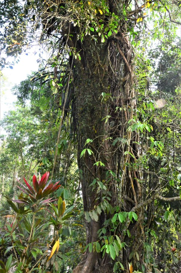 10 Ficus caulocarpa Kg. Sukau, Kinabatangan opp Police Station●20190477★ Shuai LIAO-LSL_3659.JPG