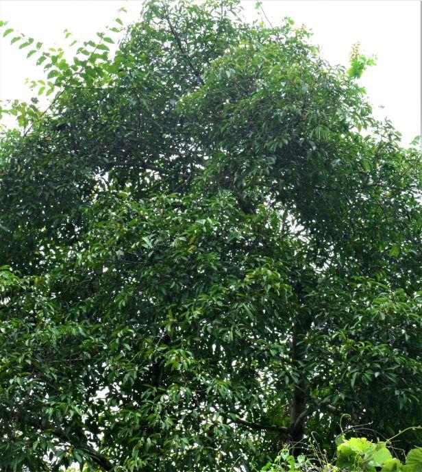 10 Ficus virens  Kinabatangan, Segaliud Lokan●20190465★Shuai LIAO-LSL_3111.JPG