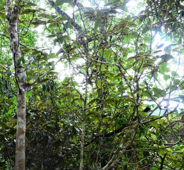 12 Ficus eumorpha Entrance  Mesilau Nature Resort●20190367★ Shuai LIAO-LSL_9271.JPG