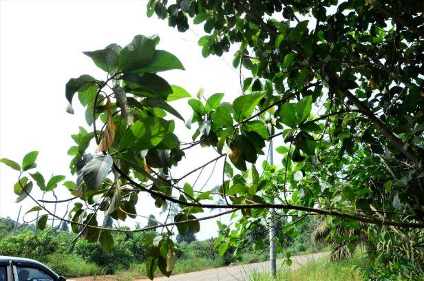 12 Ficus fistulosa hybrid Tongod, Beside Jln Imbak - Luasong●20190423★ Shuai LIAO-LSL_1631.JPG