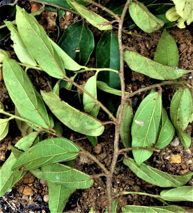 01 Ficus recurva EG839 Kapit Bukit Raya  .JPG
