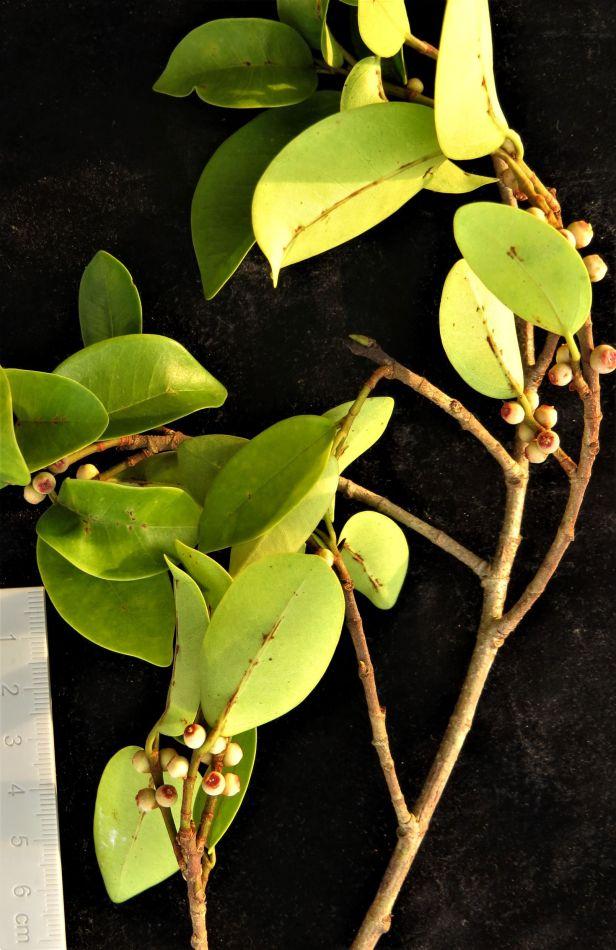 01 Ficuss microsyce Tampanuli Eka Siswyati 1_2_BDB_IMG_1141