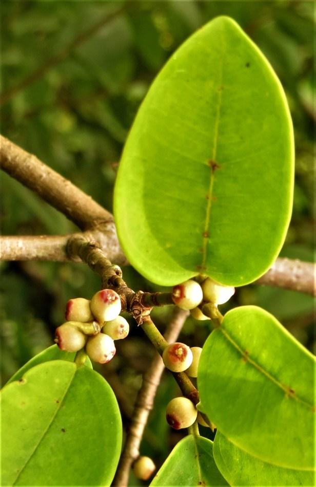 02 Ficuss microsyce Tampanuli Eka Siswyati 1_2_BDB_IMG_1141