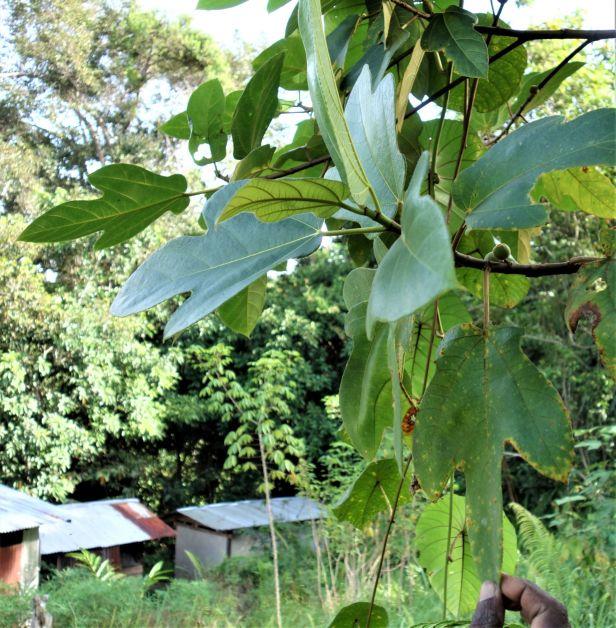 04 Ficus fulva EG835.JPG