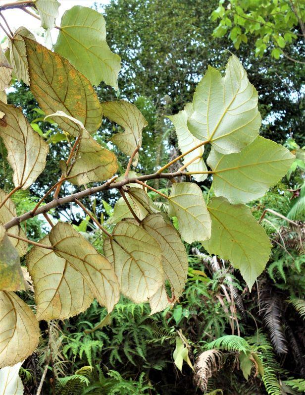 04 Ficus grossularioides Kapit  EG812 a.JPG