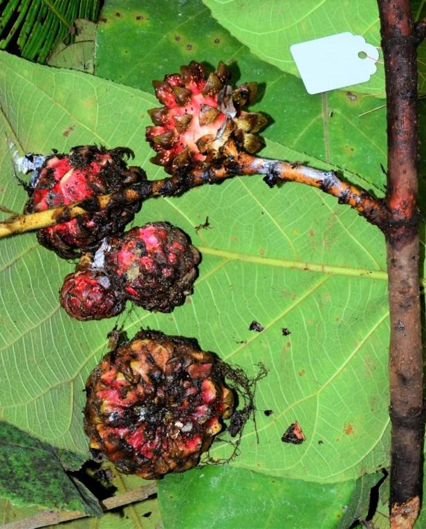 04 Ficus megaleia KImanis - Keningau●20190379★ Shuai LIAO-LSL_9695.JPG