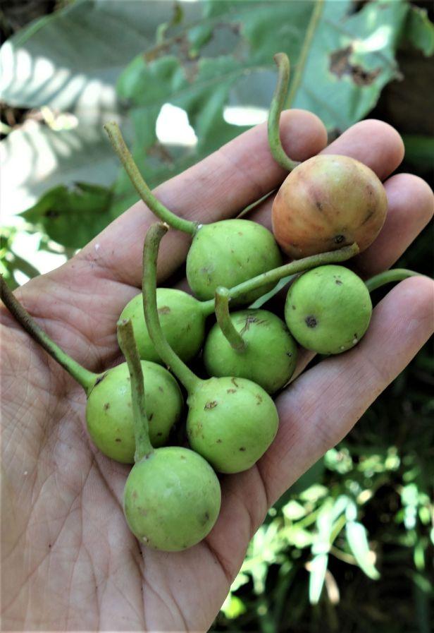 04 Ficus variegata EG826 Bukit Raya, Kapit