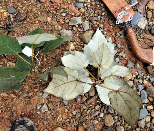 05 Ficus grossularioides Kapit  EG812 a.JPG