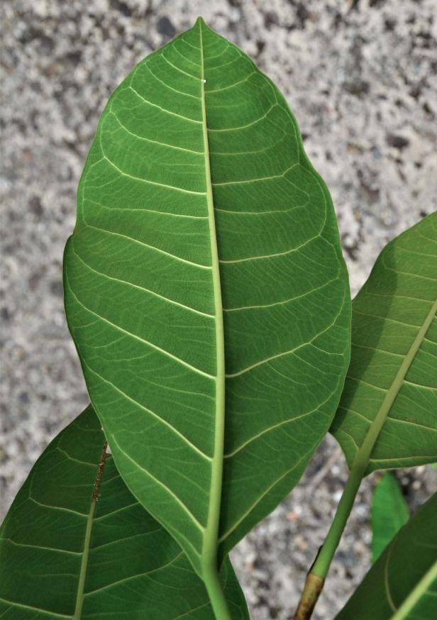 06 Ficus kerkhovenii Sepilok Nature Resort,●20190435★Shuai LIAO-LSL_2095.JPG