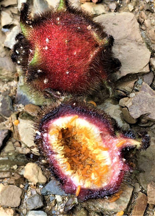 06 Ficus uncinata Sg Sebatu Kapit EG880