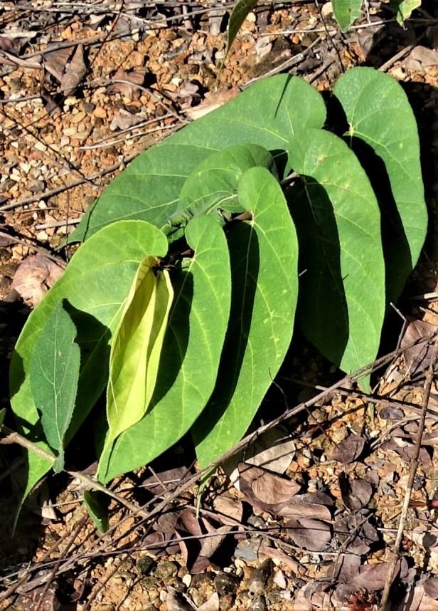 07 Ficus uncinata EG821 d.JPG