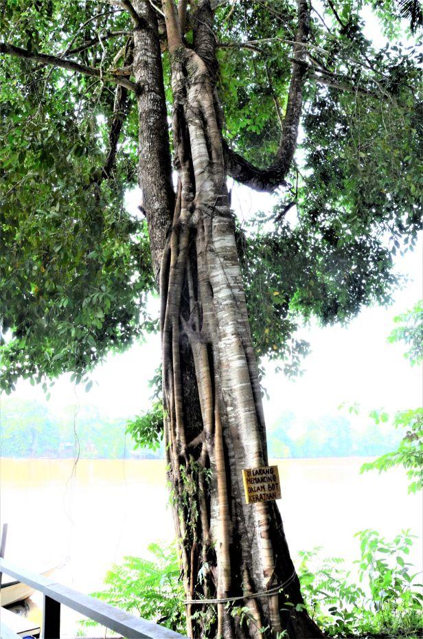 10 Ficus sumatrana Kg. Sukau, Kinabatangan, nr Police Station●20190466★ Shuai LIAO-LSL_3312
