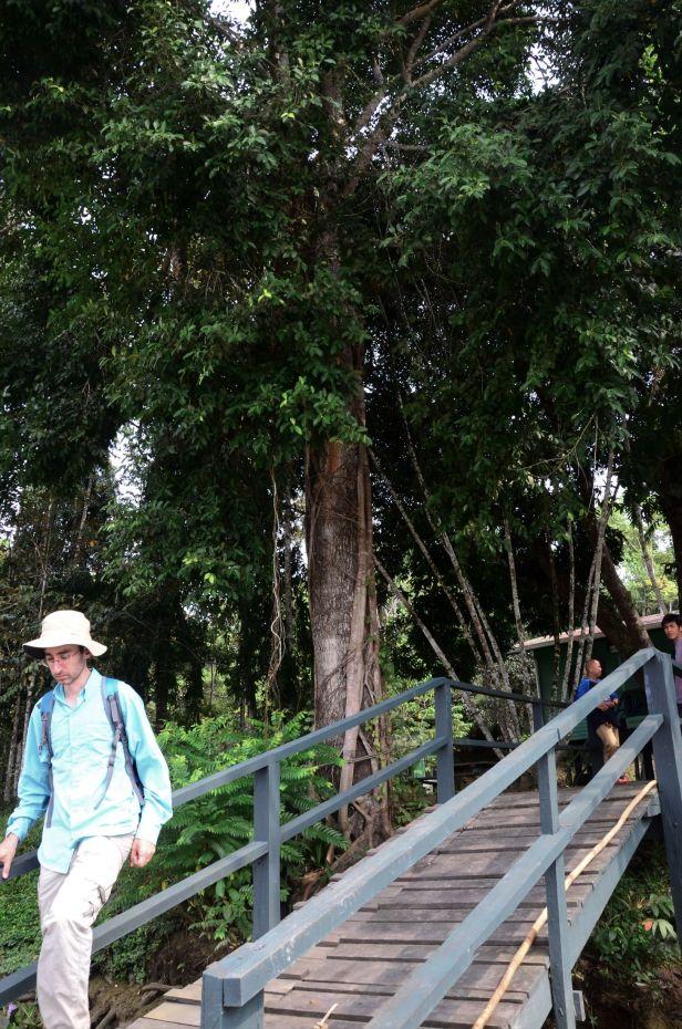 12 Ficus sumatrana Kg. Sukau, Kinabatangan, nr Police Station●20190466★ Shuai LIAO-LSL_3312