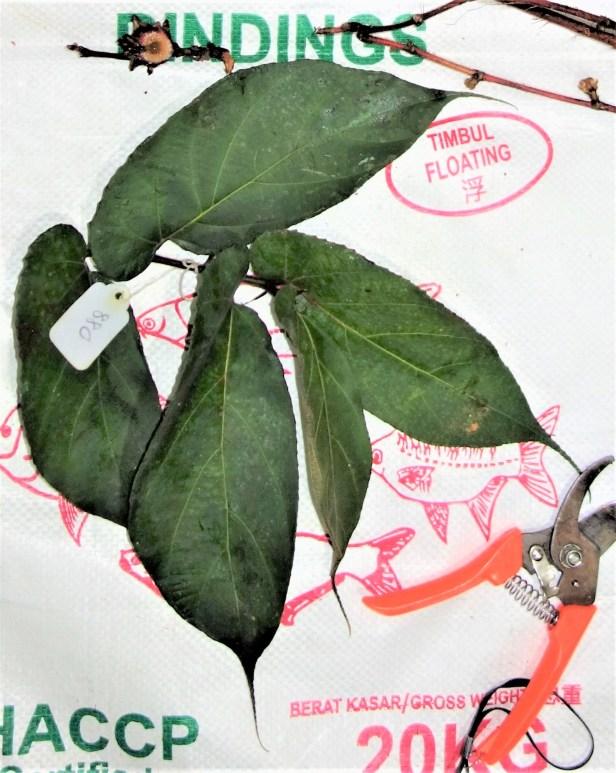 4 Ficus uncinata Sg Sebatu Kapit EG880