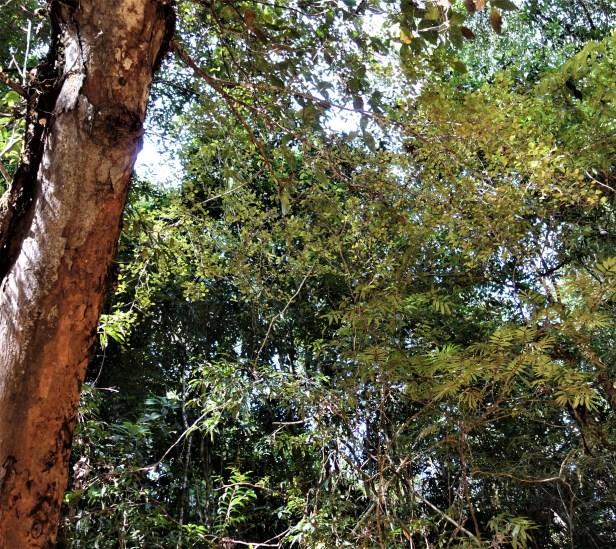 Ficus deltoidea EG833 a.JPG