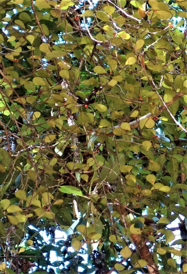 Ficus deltoidea EG833 b.JPG
