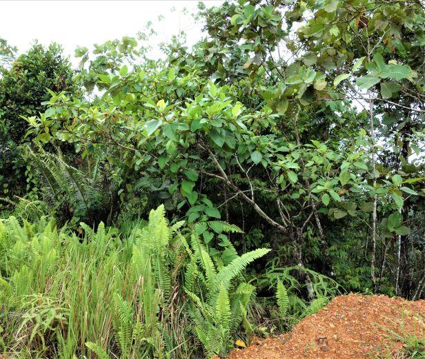 Ficus fulva EG810 a.JPG