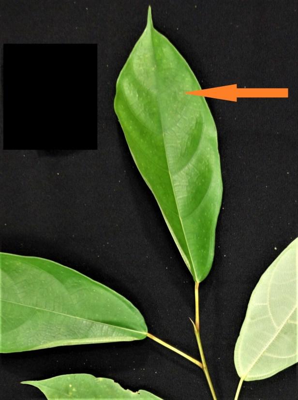 Ficus sp sapling EG894 specimen - Copy 01